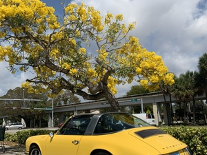 '69 Yellow Bird under Yellow Tree